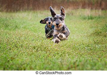 divertido, perro, dos, dachshund, vuelo, aire libre