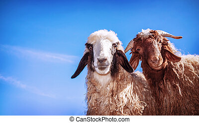 divertido, sheeps, dos