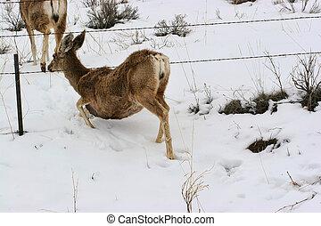 Doe arrastrándose bajo alambre de púas en la nieve