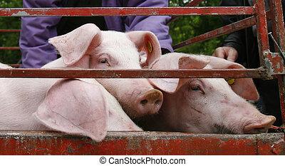 doméstico, cerdo, agricultura, animal, cerdo