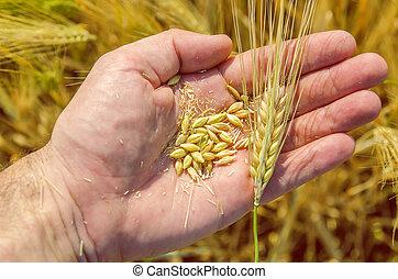 Dorada cosecha en mano sobre el campo
