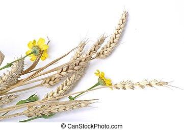 dorado, margaritas, fondo blanco, trigo
