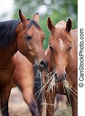 Dos caballos comiendo heno