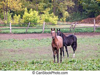 Dos caballos en agricultura agrícola