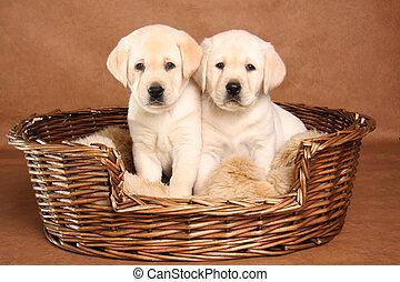 Dos cachorros de laboratorio