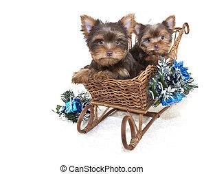Dos cachorros de navidad de Yorkie.