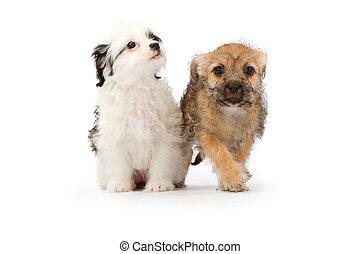 Dos cachorros en blanco