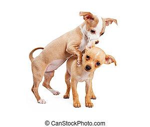 Dos cachorros jugando de fondo blanco