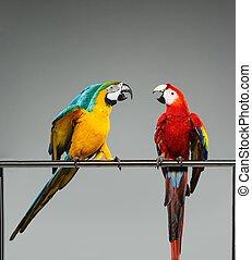 Dos loros coloridos peleando en una perca