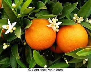 Dos naranjas en un árbol naranja