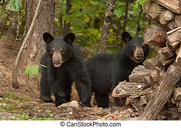 Dos osos negros salvajes
