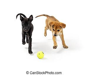 dos, perritos, después, corriente, pelota