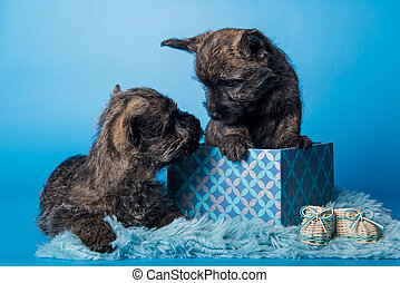 dos, perritos, otro, cairn, terrier, besar, cada, perros