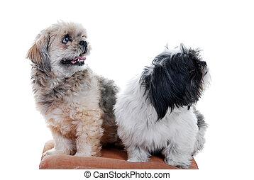 Dos perros de Ihasa apso
