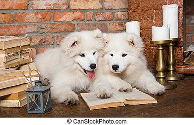 Dos perros de Samoy con libros