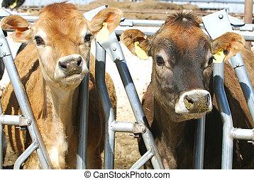 Dos vacas lecheras