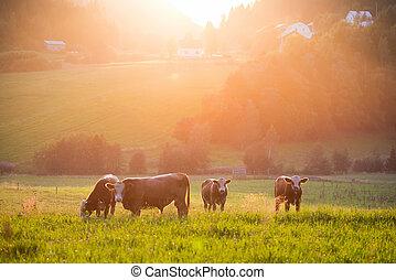 durante, valle, ocaso, ganado, pasto
