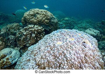 duro, color, coral, global, efecto, muerto, bleaching., mar de andaman, corales, tailandia, blanco, worming