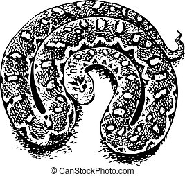 echis, (venomous, viper)