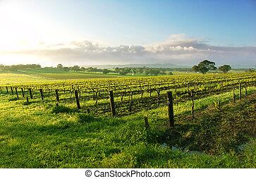El amanecer del viñedo