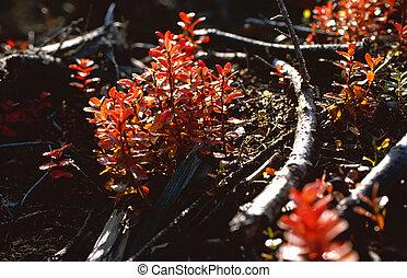 El arbusto de arándanos rojo