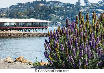 El arbusto de lilas de California