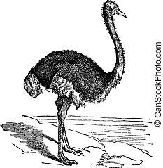 El avestruz o struthio camelus. Grabación antigua.