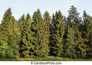El bosque Spruce