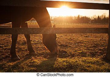 El caballo pastando al atardecer
