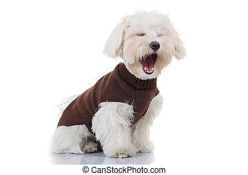 El cachorro de Bichon usando ropa está gritando
