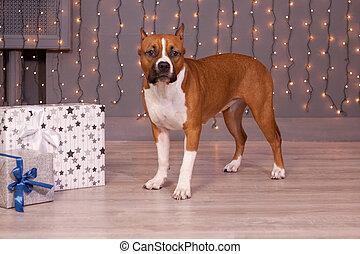 El cachorro terrier de la plantilla americana está cerca de los regalos festivos. Animales de mascota. Ocho meses.