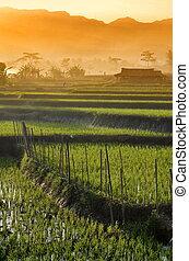 El campo de arroz agrícola