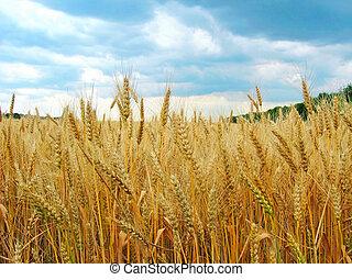 El campo de trigo