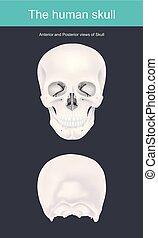 El cráneo humano es la estructura ósea que forma la cabeza en el esqueleto humano. Apoya las estructuras de la cara y forma una cavidad para el cerebro.