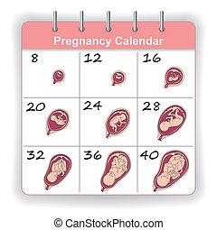 El crecimiento de un feto humano en el calendario de semanas
