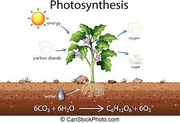 El diagrama de la explicación de la fotosíntesis