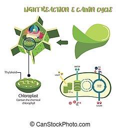 El diagrama de proceso de fotosíntesis