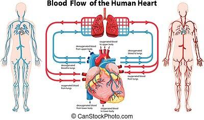 El diagrama muestra flujo sanguíneo del corazón humano