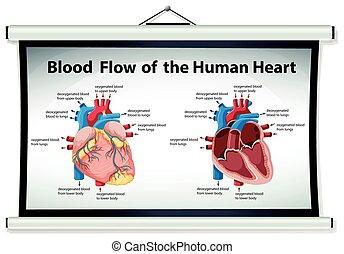 El diagrama muestra flujo sanguíneo en el corazón humano