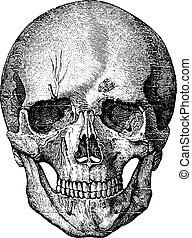 El esqueleto óseo de la cara y la parte anterior del cráneo, vi