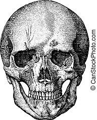 El esqueleto de la cara y la parte anterior del cráneo, ilustración grabada. El diccionario de medicinas de Paul Labarthe, 1885.