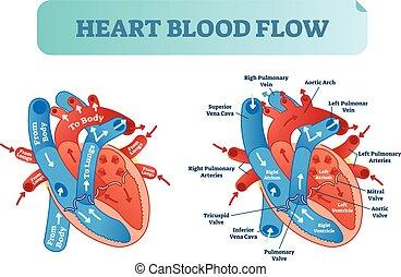 El flujo sanguíneo del corazón circula diagrama anatómico con atrio y ventrículo. Ilustración Vector etiquetada como póster médico.