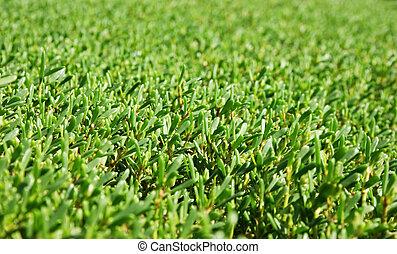 El fondo de los arbustos verdes manicurados