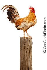 El gallo de la mañana