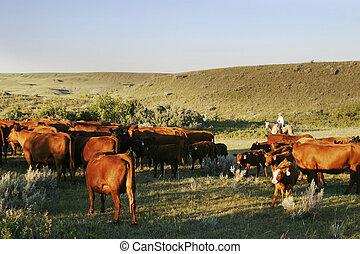 El ganado está listo