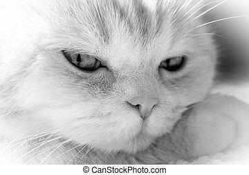 El gato lindo y tabby reposa su cabeza en pata, primer plano, BW