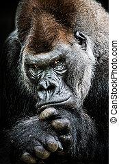 El gorila de las tierras bajas occidentales II