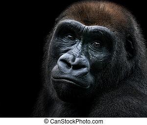El gorila de las tierras bajas occidentales IX