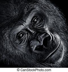 El gorila de las tierras bajas occidentales V