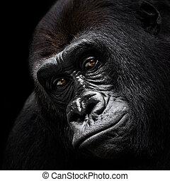 El gorila de las tierras bajas occidentales VI